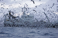 Thousands of gulls  feeding on fish scraps from deep sea herring trawler. Norwegian sea, Arctic Norway, North Atlantic