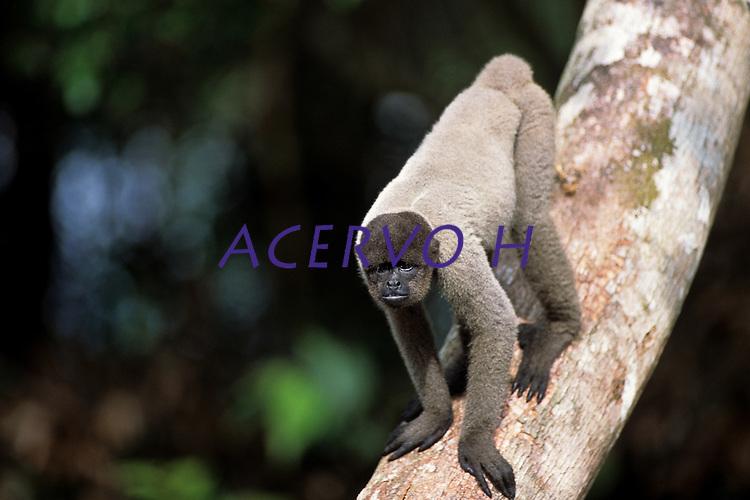 Rio Purus.<br /> <br /> Macaco Barrigudo (Lagothrix lagotricha)<br /> <br /> <br /> <br /> Características: O Macaco Barrigudo é um primata que tem o corpo coberto de uma pelagem densa e lanosa, de cor que varia entre o castanho-escuro até ao cinzento e castanho avermelhado, expondo uma tonalidade mais escura na região da cabeça. O tamanho do seu corpo e cabeça varia entre os 40 e 55 cm, enquanto a sua cauda pode medir entre 55 e 70 cm. A cabeça é redonda com orelhas pequenas, desprovida de pelos na face. Os seus membros são compridos, com mãos semelhantes às humanas, mas os polegares não chegam junto dos outros dedos. Apresenta ainda uma cauda preênsil e sem pelos na superfície inferior junto da ponta.<br /> <br /> Primeira expedição científica para criação da RDS Piagaçu Purus subindo o rio até a Boca do Abufari.<br /> Amazonas, Brasil.<br /> Foto Paulo Santos<br /> 06/2001