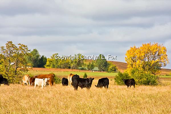 Cows graze in a field in Kansas.