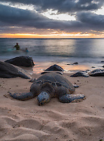 A green turtle or honu resting on a beach with a father and son in the background, North Shore, O'ahu.