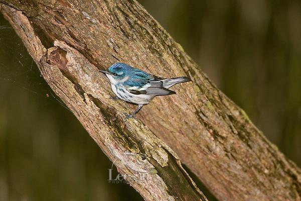 Cerulean Warbler (Dendroica cerulea). Spring. Point Pelee National Park, Ontario. Canada. Lake Erie. Migration.