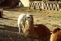 LAGO TITICACA-BOLIVIA. 08-09-2007. Las llamas hacen parte fundamental del sustento de los habitantes del Lago Titicaca. The Llamas make fundamental part of the livelihood of the inhabitants of Lake Titicaca. . (Photo: VizzorImage)