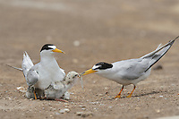 Least Tern (Sterna antillarum), adult feeding newly hatched young with fish prey, Port Isabel, Laguna Madre, South Padre Island, Texas, USA