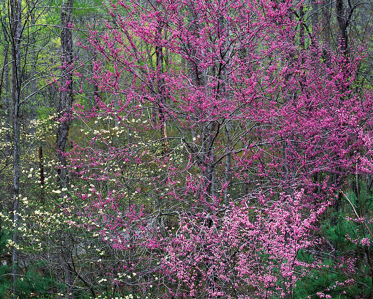 Redbud and Dogwood trees in bloom at Leatherwood Ford; Big South Fork National River & Recreation Area, TN