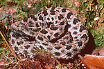 Pygmy Rattlesnake on Gumbo-Limbo Trail
