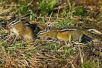 Yellow-pine Chipmunks (Tamias amoenus)--sexual behavior.