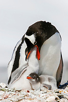 Gentoo penguin (Pygoscelis papua) parent feeding downy chick on Pleneau Island, near the Antarctic Peninsula.