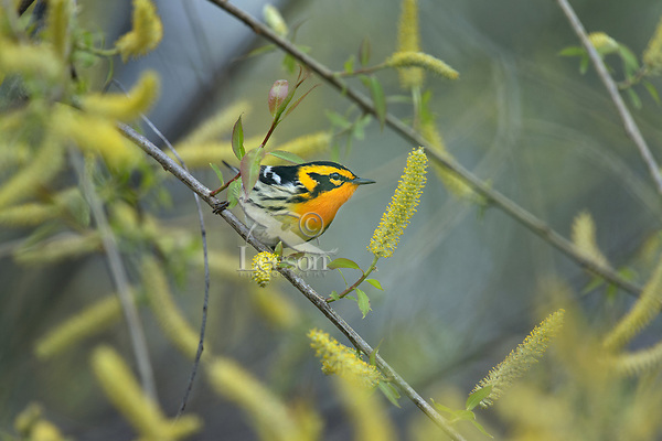 Male Blackburnian warbler (Setophaga fusca) among willow catkins.  Great Lakes Region, May.