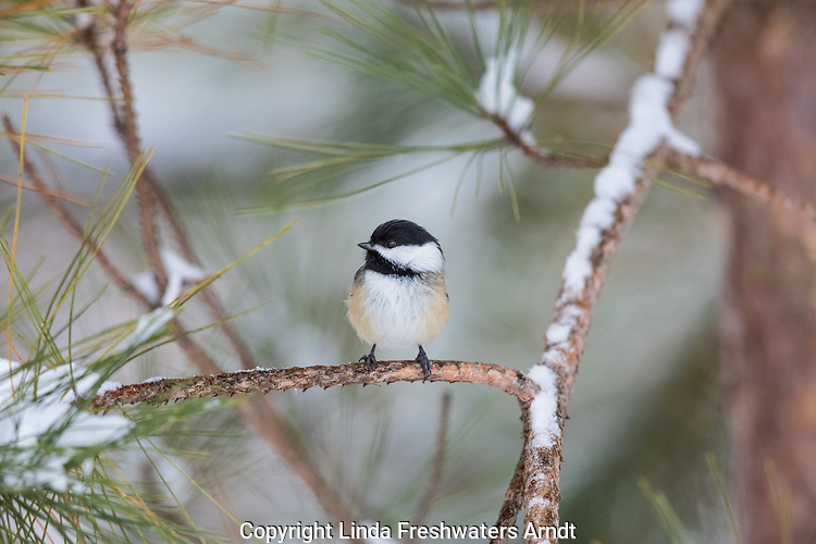 Black-capped chickadee in northern Wisconsin.