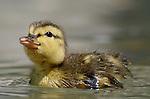 Mallard ducklings can swim almost immediately after they hatch, but they're not born waterproof.<br /> <br /> Mallard - Anas platyrhynchos<br /> Washington, DC