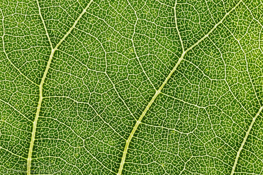 Hybrid Black Poplar {Populus x canadensis} leaf detail showing veination. Cambridgeshire, UK. September.