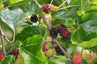Schwarzer Maulbeerbaum, Frucht, Früchte, Schwarze Maulbeere, Maulbeeren, Morus nigra, Black Mulberry, Common Mulberry, blackberry, Le mûrier noir, Maulbeergewächse, Moraceae