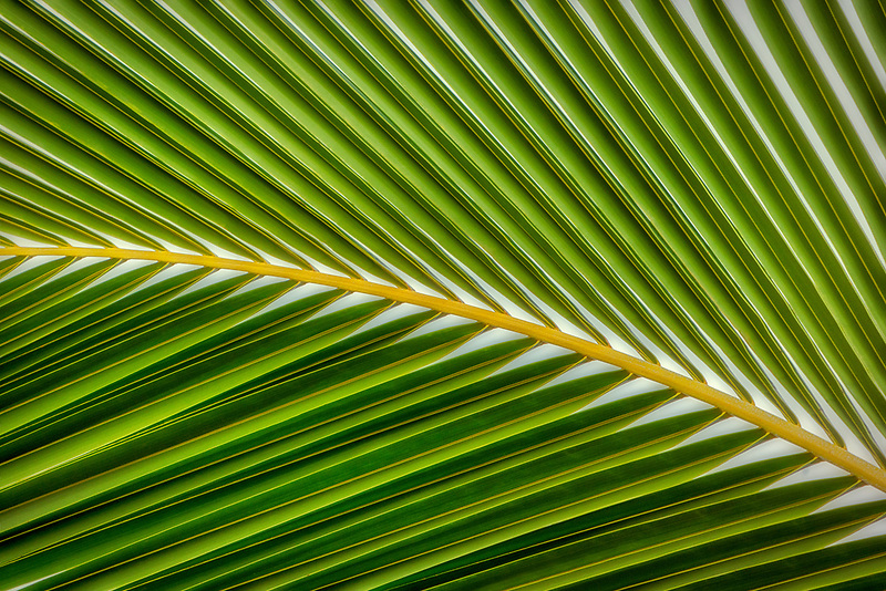 Close up of palm tree leaves. Hawaii.