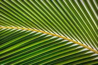 Close up of palm tree leaves. Hawaii.