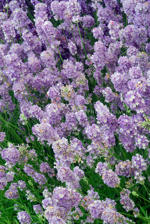 Lavandula angustifolia 'Ashdown Forest' English Lavender