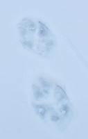 Wolf tracks in the snow.