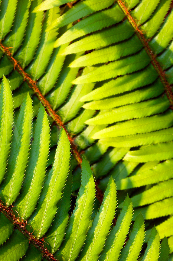 Fern in Del Norte Coast Redwoods State Park, part of the Redwoods state and national park, California