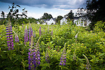Lupines in bloom, Searsport, ME, USA