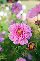 Cosmos bipinnatus 'Double Click Rose Bonbon'