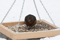 Amsel, Weibchen an der Vogelfütterung, Fütterung im Winter bei Schnee, frisst Körner vom Futtertisch, Winterfütterung, Schwarzdrossel, Drossel, Turdus merula, blackbird, Merle noir