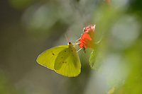 Cloudless Sulphur (Phoebis sennae), adult feeding on Turkscap (Malvaviscus arboreus var. drummondii) flower, Palmetto State Park, Hill Country, Texas, USA
