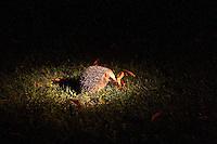 Europäischer Igel im Garten im Schein einer Taschenlampe, nachts, nachtaktiv, Tiere der Nacht, Westigel, Braunbrustigel, Erinaceus europaeus, Western hedgehog, Hérisson d`Europe de l`Ouest
