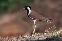Red-wattled Lapwing (Vanellus indicus), Ranthambore National Park,India