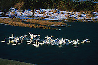 Trumpeter Swans (Cygnus buccinator) in Nicomen Slough, Fraser Valley, BC, British Columbia, Canada