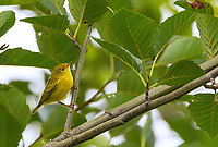 A female Yellow Warbler perches above the trail at Nisqually National Wildlife Refuge.