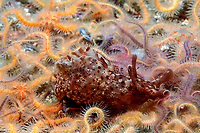 California sea hare, Aplysia californica, crawls across field of spiny brittle stars, Ophiothrix spiculata, Channel Islands National Park, California, East Pacific Ocean