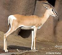 0531-1101  Sudan Soemmerring Gazelle (Nubian Soemmerring Gazelle), Nanger soemmeringii soemmeringii  © David Kuhn/Dwight Kuhn Photography