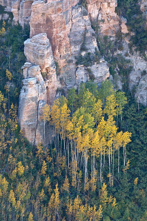 Golden quaking aspen (Populus tremuloides) in South Canyon in Saddle Mountain Wilderness area in the Kaibab National Forest, Arizona, USA
