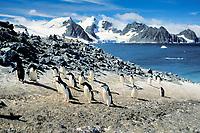 chinstrap penguins, Pygoscelis antarctica, and Adelie penguins, Pygoscelis adeliae, South Orkney Islands, S. Atlantic