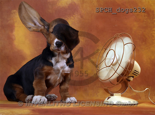 Xavier, ANIMALS, dogs, photos(SPCHdogs232,#A#) Hunde, perros