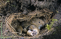 Feldmaus, Muttertier mit Jungen, Jungtieren, Tierbabies in ihrem unterirdischen Bau, Nest, Junge, Jungtiere, Feld-Maus, Wühlmaus, Wühl-Maus, Maus, Microtus arvalis, common vole
