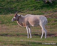0211-08xx  Addax, Addax nasomaculatus © David Kuhn/Dwight Kuhn Photography