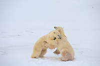 Polar bears (Ursus maritimus) wrestling (mostly play fighting), Churchill. Manitoba, November.