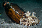 Lembeh Strait, Indonesia; a coconut octopus  using a discarded glass bottle as a temporary home on the sandy bottom