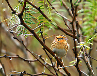 Adult LeConte's sparrow in mesquite tree on foggy morning. Christmas bird count, Bay City,TX December