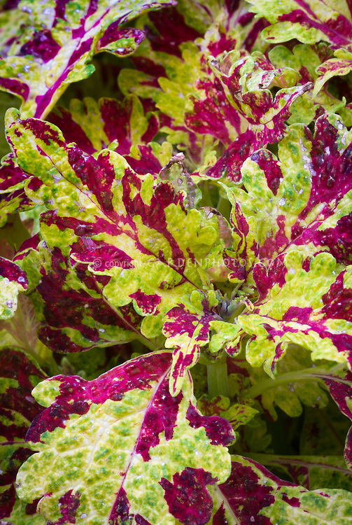 Solenostemon (Coleus) 'Firedance' ornamental annual foliage plant with splashed two tone yellow and red mosaic patterned colorful leaves