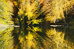 Zoom exposure of Big Leaf maple in fall color overhang placid pond.  Lake Fenwick Park, King County, Washington.