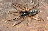Fischernetzspinne, Segestria senoculata, snake-back spider, Segestriidae, Fischernetzspinnen