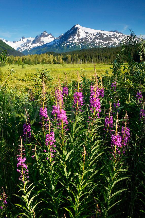 Fireweed and the Chugach National Forest from along the Seward Highway, Kenai Peninsula, Alaska.