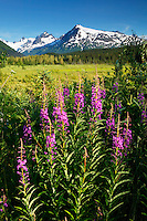 Fireweed and the Chugach National Forest from along the Seward Highway, Kenai Peninsula, Alaska.