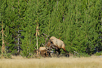 Rocky Mountain Bull Elk bulls (Cervus elaphus) sparring--battling over cows during fall rut.  One bull has tripped in the jack pines.  Western U.S.