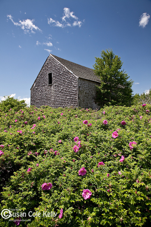 Rugosa roses surround an old barn in Sedgwick, ME, USA