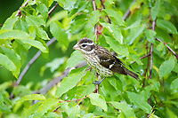 rose-breasted grosbeak, Pheucticus ludovicianus, female perched in spring shrub, Nova Scotia, Canada