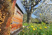 In a flowering prairie with a cherry orchard in bloom, the bees fly to a beekeeper's hive. A frame full of drones and a beekeeper's smoker. ///Dans un verger de cerisiers en fleur avec une prairie fleurie, les abeilles volent vers la ruche d'un apiculteur. Un cadre de faux-bourdons et l'enfumoir d'un apiculteur.
