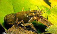 1Y06-052d  Crayfish