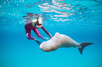 aggressive dugong or sea cow, Dugong dugon, pushed away by snorkeler, Tanna Is., Vanuatu (S. Pacific Ocean)